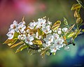 Birnenblüten Pyrus Communis (207092333).jpeg
