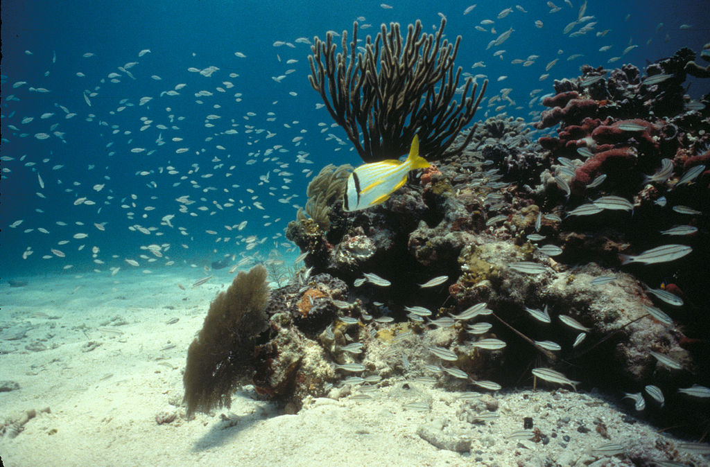 File:Biscayne National Park H-porkfish on reef.jpg - Wikimedia Commons