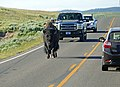 Bison walking down the road in Hayden Valley (38469e64-c0a7-4bcf-8ab1-42b164351ee5).jpg