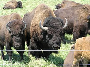 Robert R. Wilson - Bison graze on the prairie close to Fermi National Accelerator Laboratory