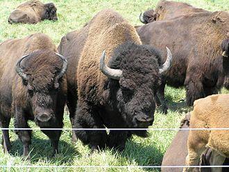 Robert R. Wilson - Bison graze on the prairie close to Fermi National Accelerator Laboratory