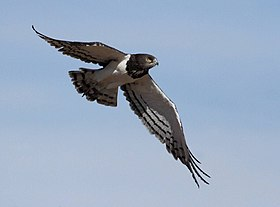 Black-breasted Snake-Eagle 2013 03 07 15 56 46 3635.jpg
