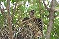 Black-crowned Night-Heron young (48432237307).jpg