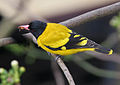 Black-hooded Oriole (Oriolus xanthornus) catching insects on Kapok (Ceiba pentandra) in Kolkata W IMG 3998.jpg