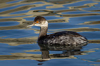 Black-necked Grebe (Podiceps nigricollis), non-breeding plumage.jpg