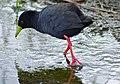 Black Crake (Amaurornis flavirostra) (11668640375).jpg