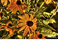 Black Eyed Susan Flowers (15569925799).jpg