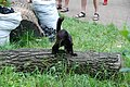 Black Lemur on a log 2.jpg