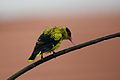 Black Naped Oriole (6789340896).jpg