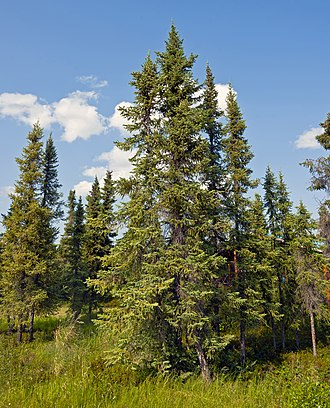 Picea mariana - Stand of black spruce near Inuvik, Northwest Territories, Canada
