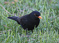 Blackbird in Madrid (Spain) 10.jpg
