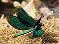 Blauflügel-Prachtlibelle Calopteryx virgo 8237.jpg