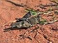 Blauflügelige Ödlandschrecken im Naturschutzgebiet Mehlinger Heide.jpg