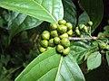 Blepharistemma serratum fruits at Periya 2014 (1).jpg