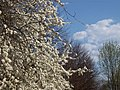 Blooming cherry tree - panoramio.jpg