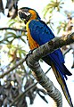 Blue-and-yellow Macaw (Ara ararauna) (27727994334).jpg