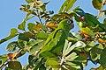 Blue-crowned Parakeets (Aratinga acuticaudata) eating fruits ... (29281966051).jpg