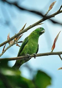 Blue-headed Racquet-tail.JPG