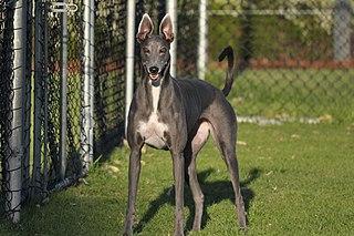 Greyhound Dog breed
