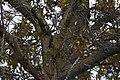 Blue Jay (32224389828).jpg