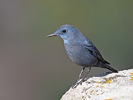 Blue rock thrush (male) at Gamla Nature Reserve.jpg