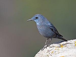 Blue rock thrush (male) at Gamla Nature Reserve.jpg