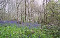 Bluebells at Trevarno - geograph.org.uk - 334561.jpg