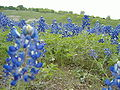 Bluebonnets en Texas.jpg