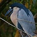 Boat-billed Heron-0633 - Flickr - Ragnhild & Neil Crawford.jpg