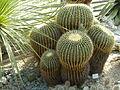 Bogarub-echinocactus-grusonii-2.jpg