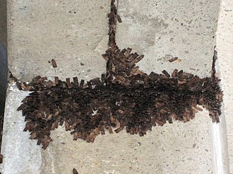 Lepidoptera migration - Australian species Agrotis infusa spends the summer as an imago in the Australian Alps, and is sometimes found in buildings in large numbers.