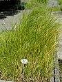 Bolboschoenus maritimus - Botanical Garden, University of Frankfurt - DSC02707.JPG