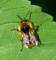 Bombus pratorum - Flickr - gailhampshire (2).jpg