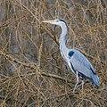 Boomreiger - tree heron --) (16826286986).jpg