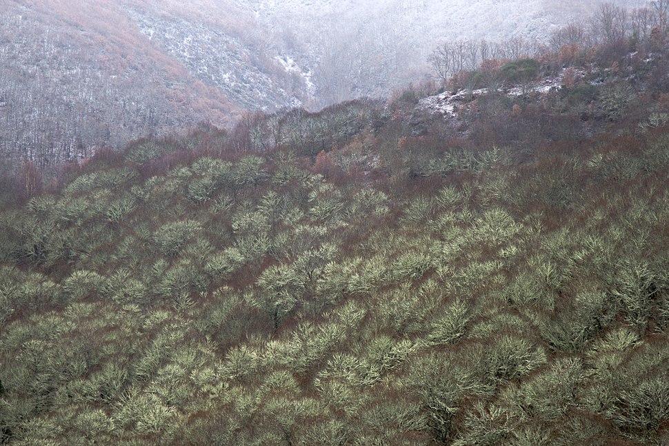 Bosque de castaños en Ancares