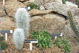 VƯỜN CÂY ĐV II - Page 5 320px-Botanick%C3%A1_zahrada_Liberec_%2814%29_-_Cephalocereus_senilis%2C_Dolichothele