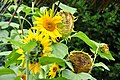 Botanischer Garten der Universität Zürich - Helianthus annuus 2010-09-16 15-20-40.JPG