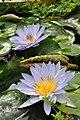 Botanischer Garten der Universität Zürich - Nymphaea 2010-09-16 15-57-28.JPG