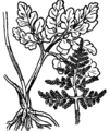 Botrychium ternatum Coste 4270.png