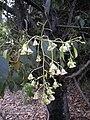 Brachychiton populnea flowers.jpg