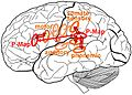 Brain regions of maps of the ACT model.jpg