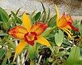 Brassolaeliocattleya Tzeng-Wen Beauty 'Flashy'.jpg