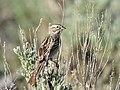 Brewer's sparrow on Seedskadee National Wildlife Refuge (34756871660).jpg