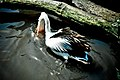Brillenpelikan (Pelecanus-conspicillatus) Weltvogelpark Walsrode 2010-2.jpg
