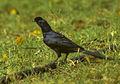 Bristle-crowned Starling - Kenya 0385 (22812579531).jpg