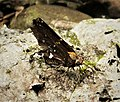 Broken Silverdrop. Epargyreus exadeus (41066180000).jpg