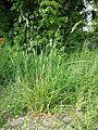 Bromus hordeaceus subsp. hordeaceus sl1.jpg