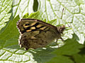 Brown butterfly 3 (3454946323).jpg