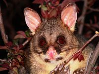 Brush tail possum 4.jpg
