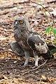 Bubo coromandus, juvenile - Ranthambore.jpg